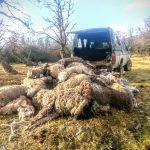 Ganaderos denuncian que jaurías de perros asilvestrados han matado más de 80 ovejas en Cochrane
